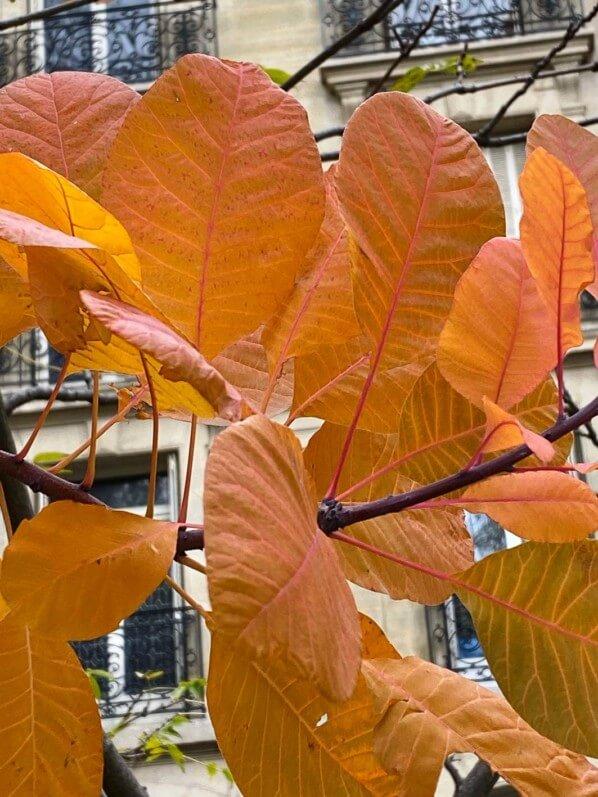 Arbre aux perruques, Cotinus coggygria, feuillage d'automne, Paris 7ème (75)