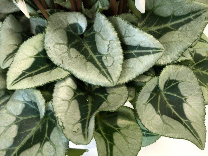 Feuillage du Cyclamen Metalis, plante d'intérieur, Paris 19e (75)