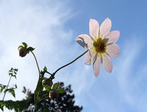Dahlia apiculata