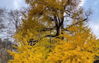 Ginkgo biloba en automne dans le parc Monceau, Paris 19e (75)