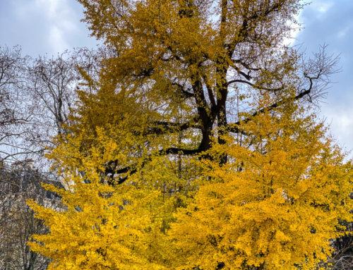 L'or du Ginkgo biloba du parc Monceau (Paris 8e)