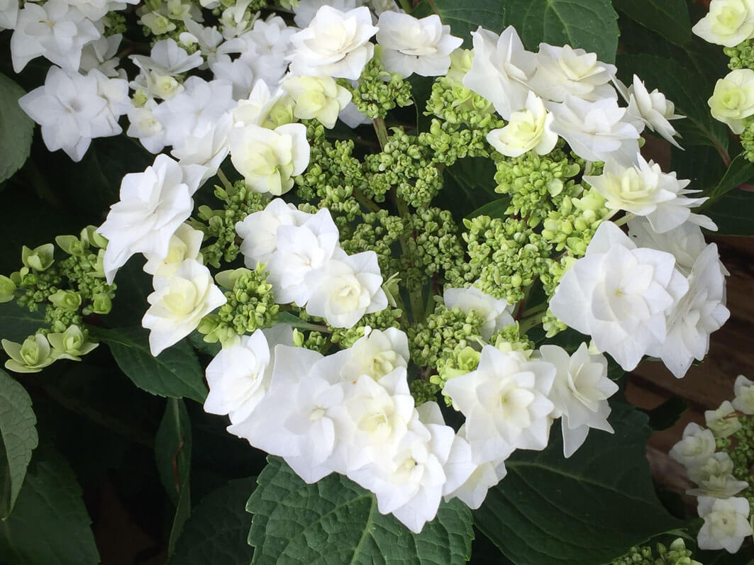 Hydrangea 'Wedding Grown'