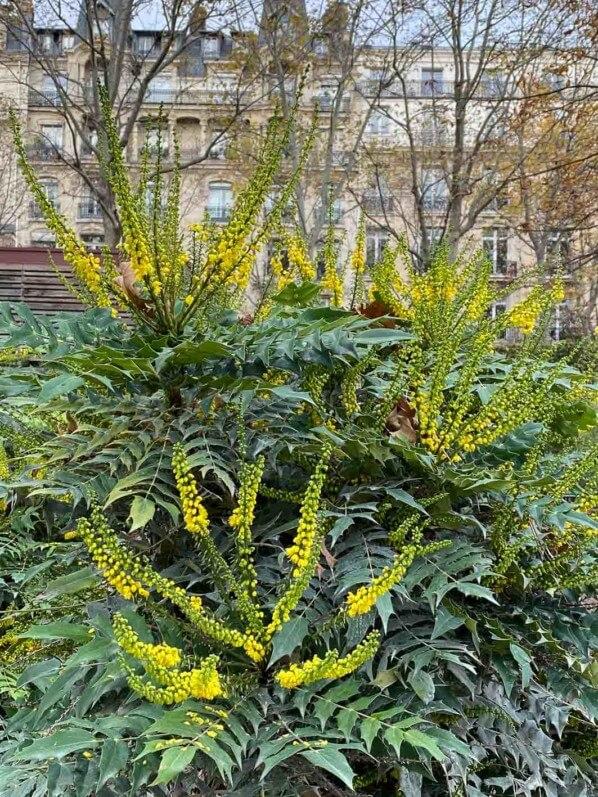 Mahonia x media en automne dans le parc Monceau, Paris 19e (75)