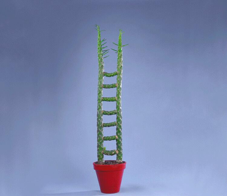 Philippe OBLIGER, Echelle cactus, 2008, cactus et greffes, dimensions variables © Philippe Obliger
