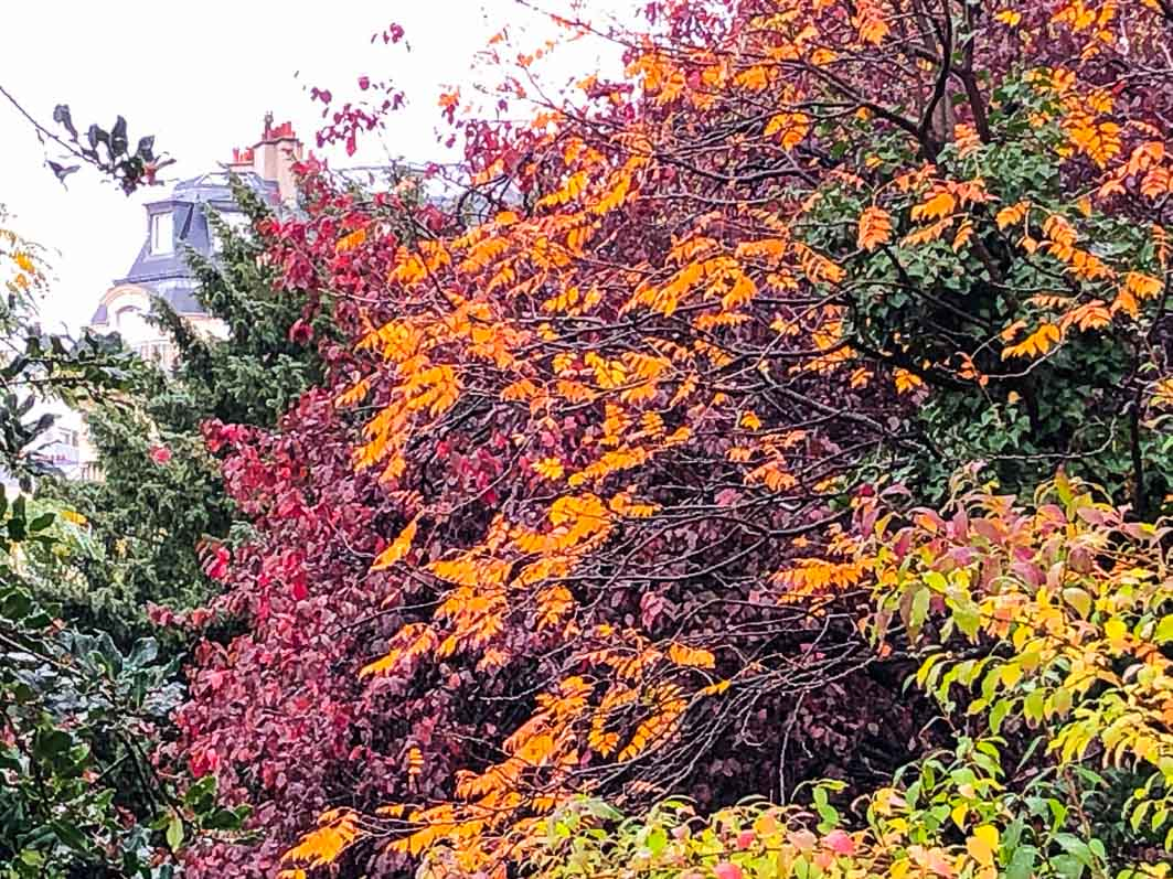 Prunus, arbre, couleurs d'automne, jardin Samuel de Champlain, Paris 20ème (75)