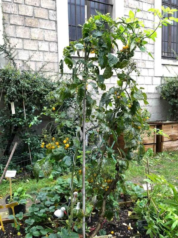 Tomates cerises en automne dans Paris 12e (75), paroisse Saint-Gabriel