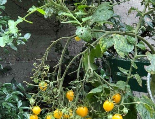 Encore des tomates cerises dans Paris en novembre