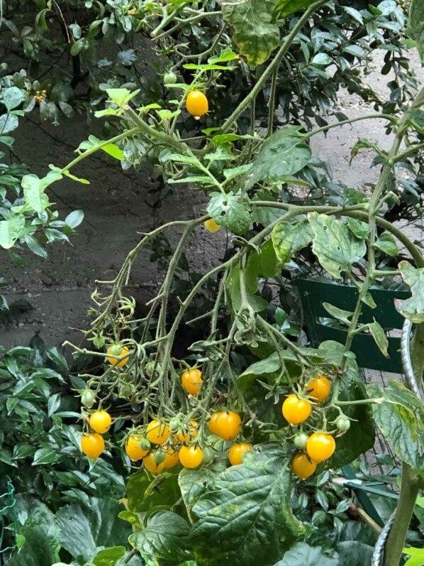Tomates cerises en automne dans Paris 20e (75), paroisse Saint-Gabriel