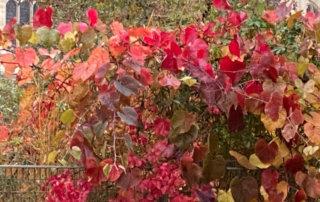 Vigne de Coignet en automne dans le jardin Nelson-Mandela Paris 1er (75)