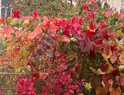 Les couleurs éclatantes de la vigne de Coignet
