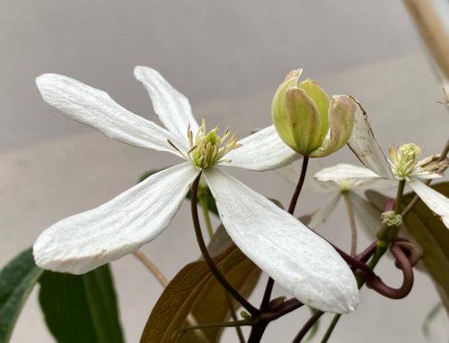 Fleurs précoces de clématite d'Armand (Clematis armandii)
