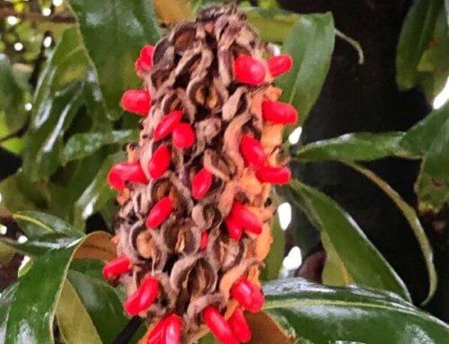 Les graines rutilantes du Magnolia