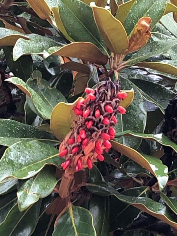 Fruit avec graines rouges d'un Magnolia en automne, Cimetière du Père Lachaise, Paris 20ème (75)
