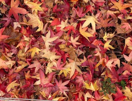 Tapis de feuilles mortes de Liquidambar