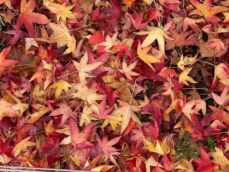 Tapis de feuilles mortes de Liquidambar styraciflua, parc de la Villette, Paris 19e (75)