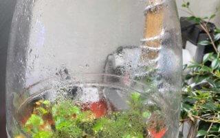 Begonia prismatocarpa dans un terrarium, plante d'intérieur, Paris 19e (75)