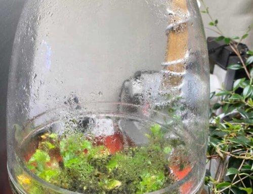 Begonia primatocarpa dans une boule en verre