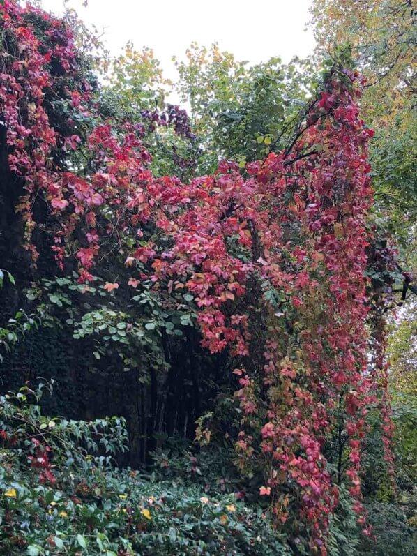 Draperies de vigne vierge, couleurs d'automne, jardin Samuel de Champlain, Paris 20ème (75)