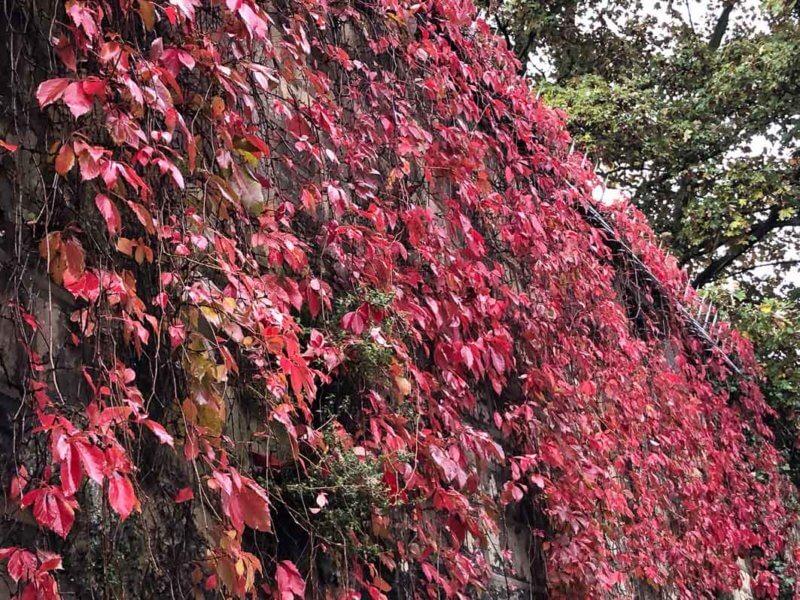 Vigne vierge avec couleurs d'automne dans le cimetière du Père Lachaise, Paris 20ème (75)