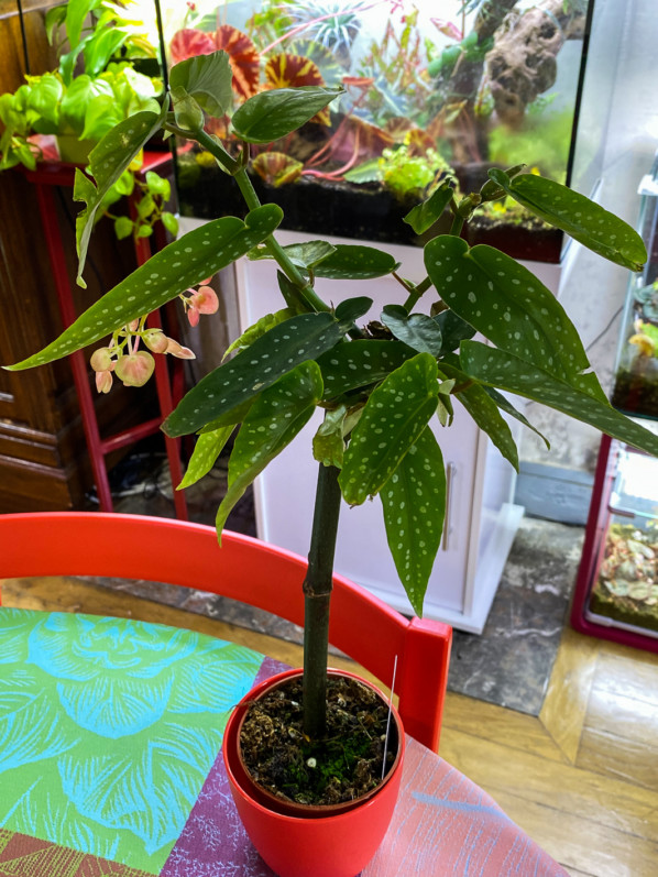 Begonia Tamaya, plante d'intérieur, Paris 19e (75)