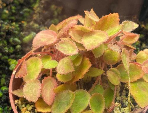 Begonia vankerckhovenii, une miniature au royaume des bégonias