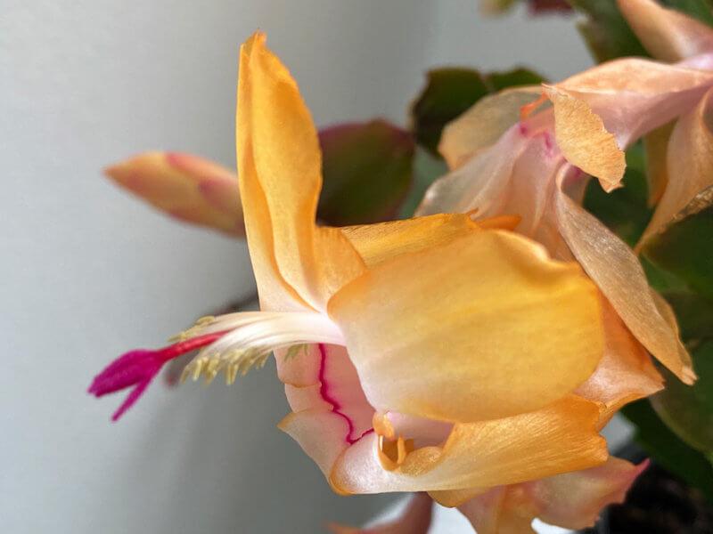 Cactus de Noël, Schlumbergera, Cactacées, floraison, Paris 12e (75)