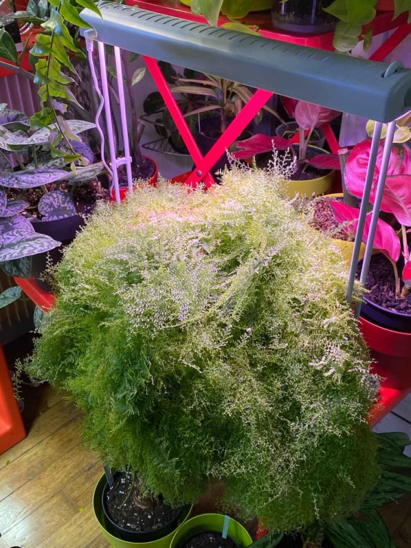 Nephrolepis exaltata 'Suzi Wong', plante d'intérieur, Paris 19e (75)