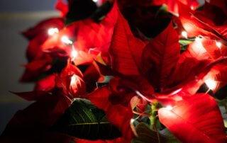 Poinsettia et guirlande lumineuse, Photo AdobeStock / Daniel