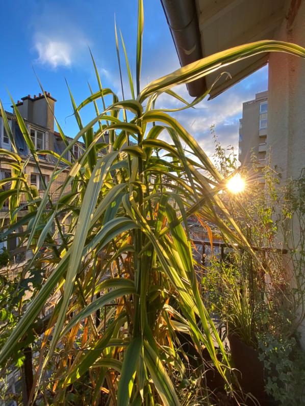 Soleil à travers le feuilage de Arundo donax 'Variegata Compact Elly', le jour de Noël sur mon balcon parisien, Paris 19e (75)