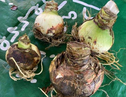 Mise en culture de bulbes forcés d'amaryllis