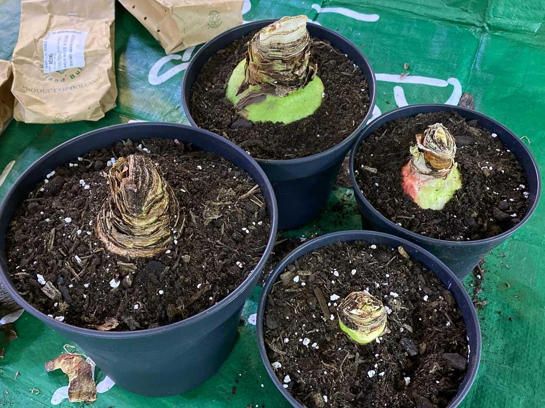 Amaryllis, Hippeastrum, rempotage, plante d'intérieur, Paris 19e (75)
