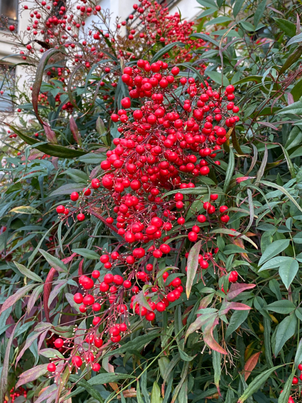 Bambou sacré, Nandina domestica avec des grappes de fruits rouges en fin d'automne dans le parc de Passy, Paris 16e (75)