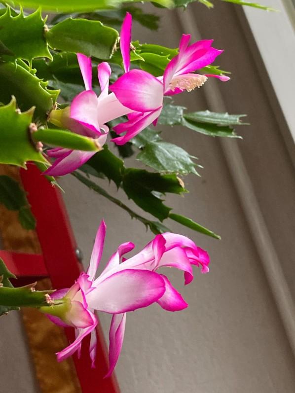 Cactus de Noël, Schlumbergera, Cactacées, plante d'intérieur, Paris 19e (75)