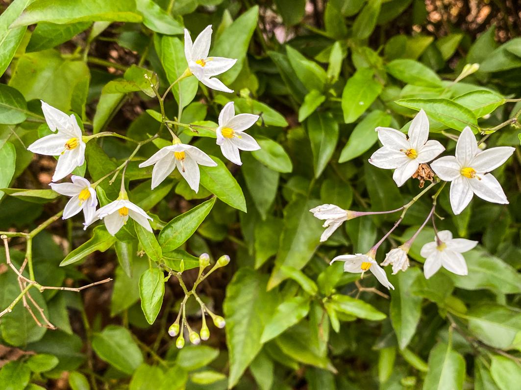 Solanum jasminoides, morelle faux-jasmin, Solanacées, floraison automnale et hivernale, Paris 7e (75)