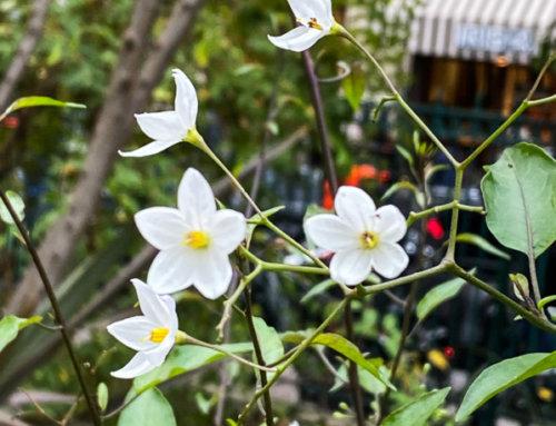 Morelle faux-jasmin en fleur fin décembre dans Paris