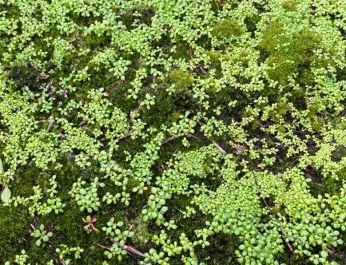 Des semis spontanés dans la mousse