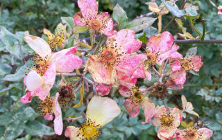 Roses fanées en fin d'automne dans le Jardin du Port de l'Arsenal, Paris 12e (75)