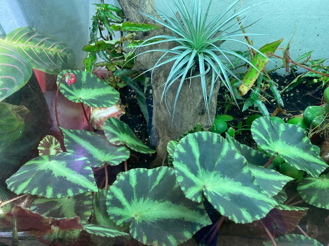 Terrarium, bégonias, tillandsia, plante d'intérieur, Paris 19e (75)