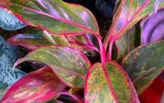 Aglaonema 'Crete', Araceae, plante d'intérieur, Paris 19e (75)