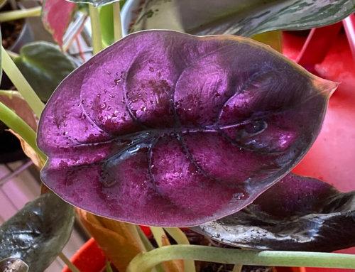 La belle iridescence du feuillage de l'Alocasia cuprea 'Red Secret'