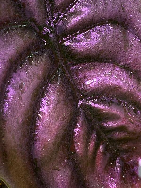 Alocasia cuprea 'Red Secret', Araceae, Aracée, Aracées, plante d'intérieur, Paris 19e (75)