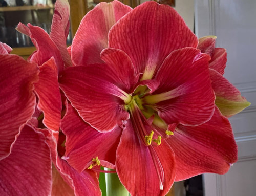 Amaryllis (Hippeastrum) 'Magical Touch'