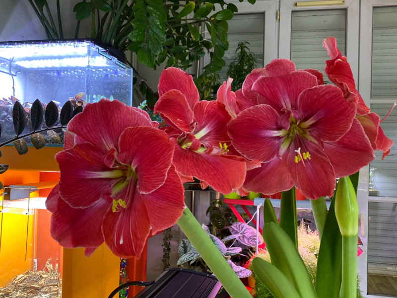 Hippeastrum 'Magical Touch', amaryllis, plante bulbeuse, plante d'intérieur, Paris 19e (75)