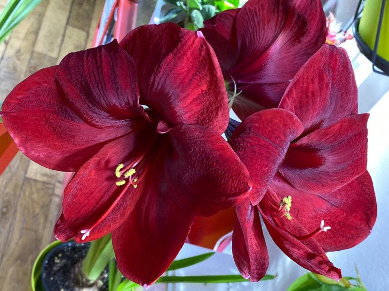 Amaryllis, Hippeastrum 'Royal Velvet', plante d'intérieur, Paris 19e (75)