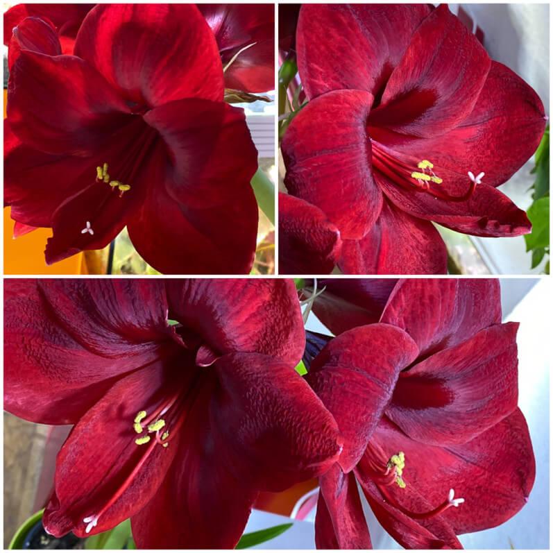 Amaryllis, Hippeastrum 'Royal Velvet', plante d'intérieur, Paris 19e (75), collage Moldiv