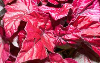 Bégonia Rex hybride à feuillage rouge, plante d'intérieur, Paris 19e (75)