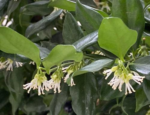 Sarcococca, des petites fleurs pour un parfum puissant