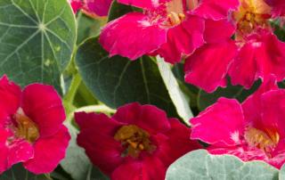 Capucine naine, Tropaeolum minus Baby Rose, (Takii), médaille d'or Fleuroselect 2020