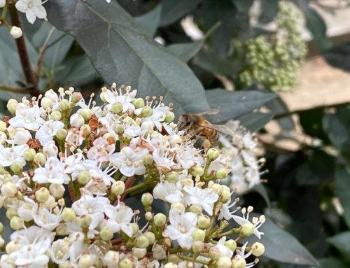 31 janvier, les abeilles butinent dans Paris