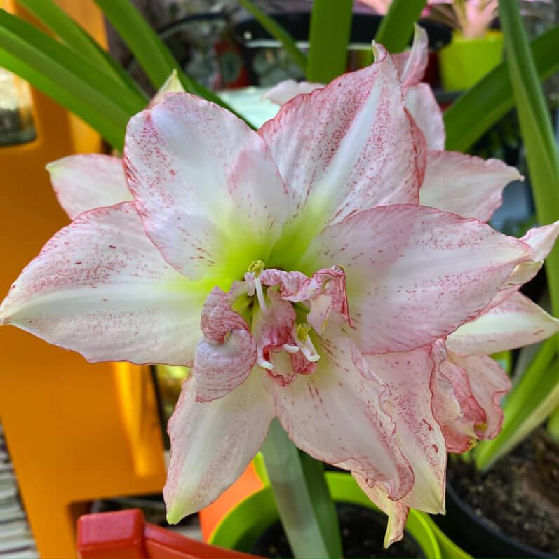 Amaryllis (Hippeastrum) 'Double Rekord', plante d'intérieur, Paris 19e (75)